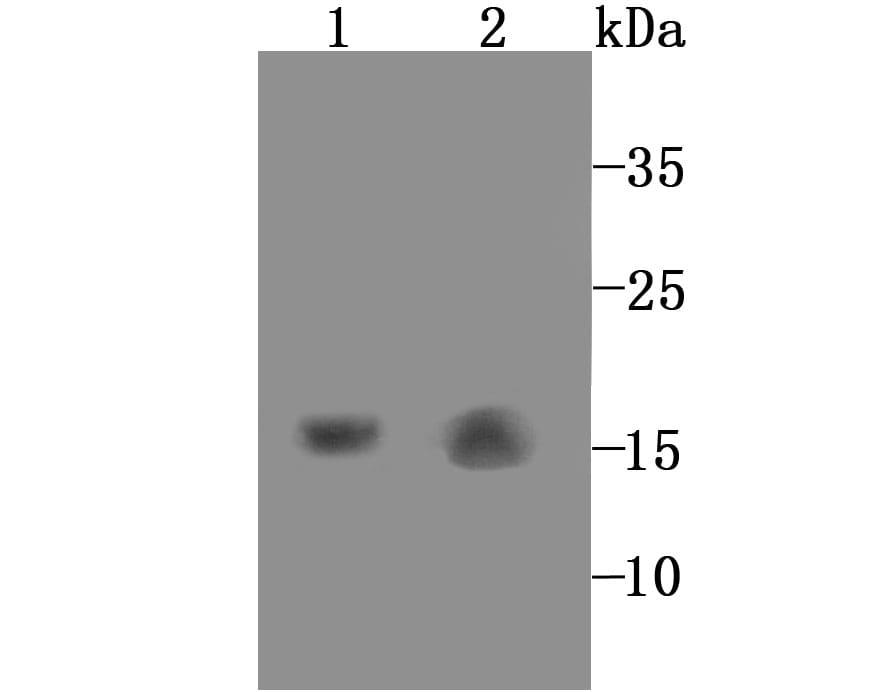 GABARAP/GABARAPL1 Antibody in Western Blot (WB)
