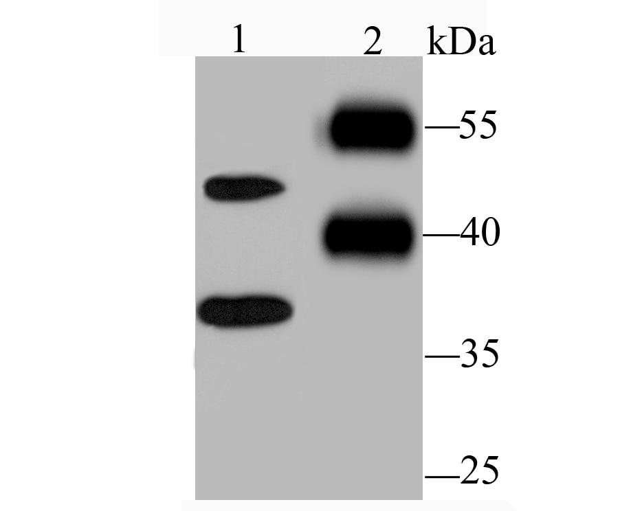 Nogo-B Antibody in Western Blot (WB)