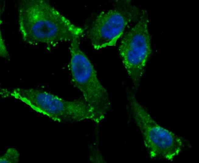 IFITM3 Antibody in Immunocytochemistry (ICC)