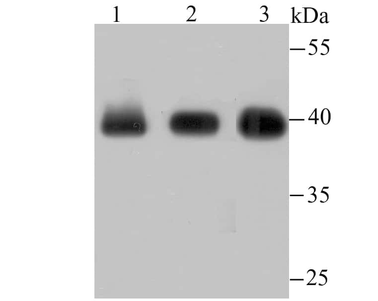 Core Histone Macro-H2A.1 Antibody in Western Blot (WB)