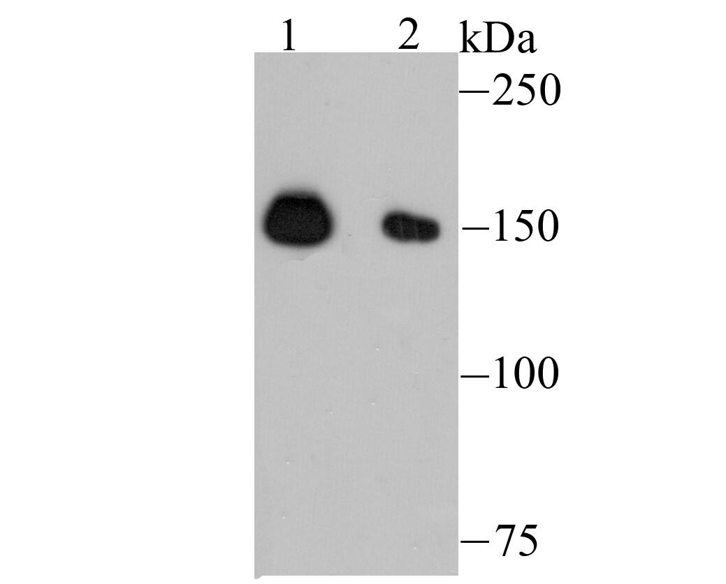 NUP153 Antibody in Western Blot (WB)