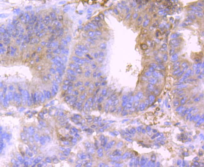 CD317 (BST2, PDCA-1) Antibody in Immunohistochemistry (Paraffin) (IHC (P))