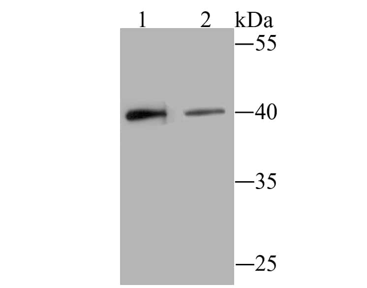 CD317 (BST2, PDCA-1) Antibody in Western Blot (WB)