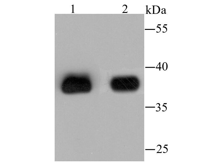 AKR1C1 Antibody in Western Blot (WB)