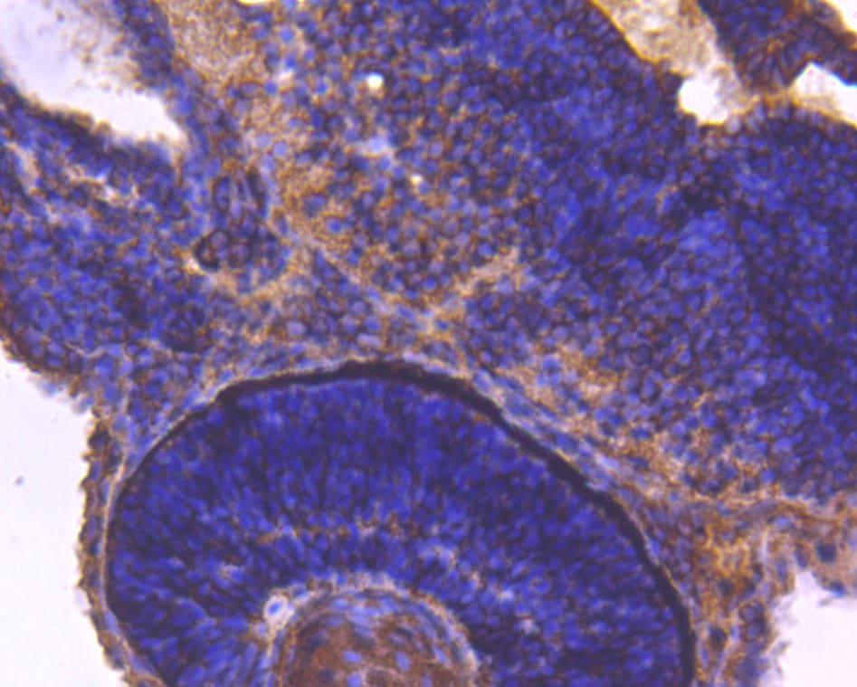 14-3-3 beta Antibody in Immunohistochemistry (Paraffin) (IHC (P))