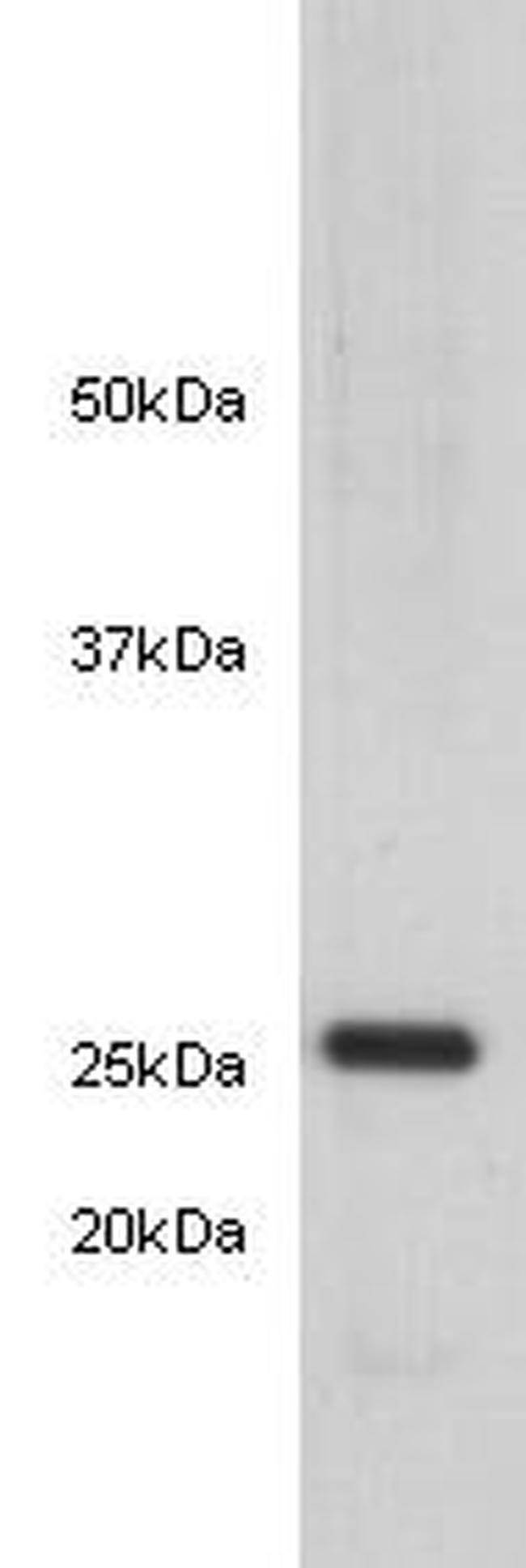 14-3-3 beta Antibody in Western Blot (WB)