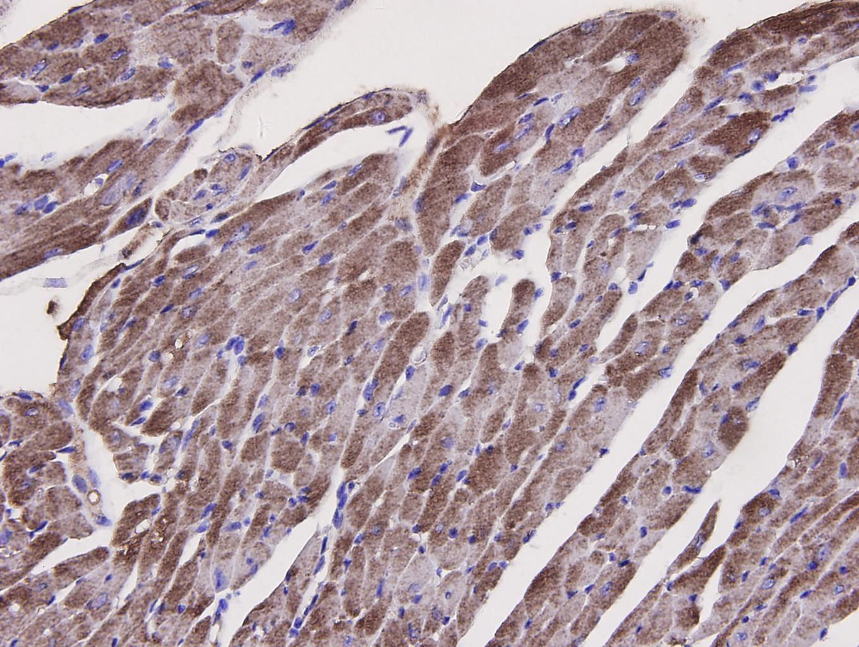 Caspase 1 Antibody in Immunohistochemistry (Paraffin) (IHC (P))