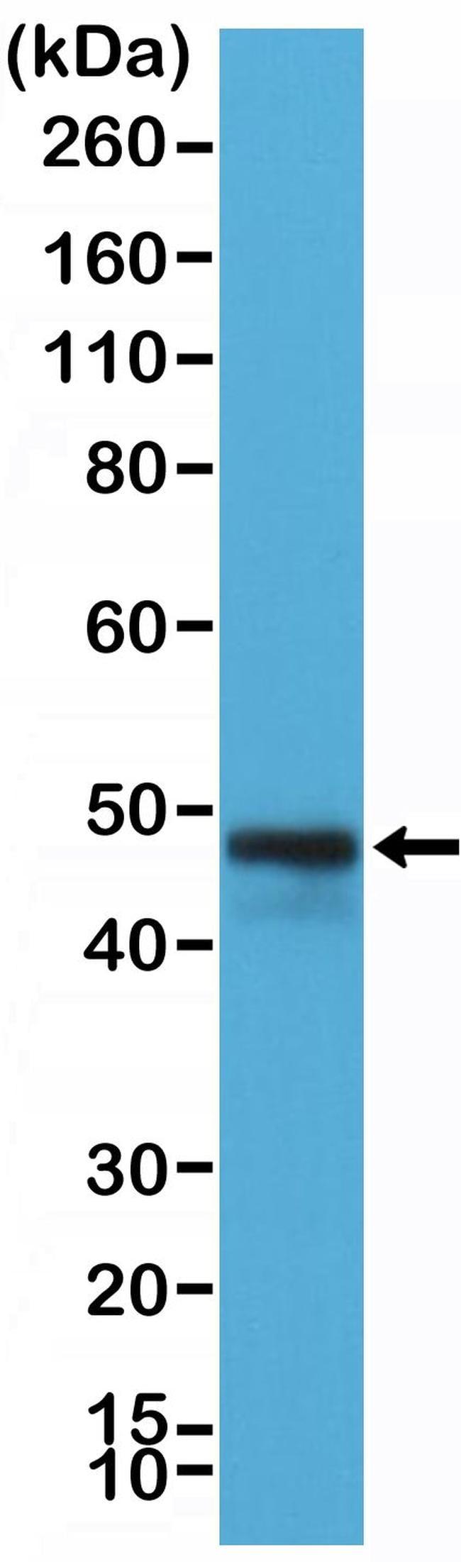 CD79a Antibody in Western Blot (WB)