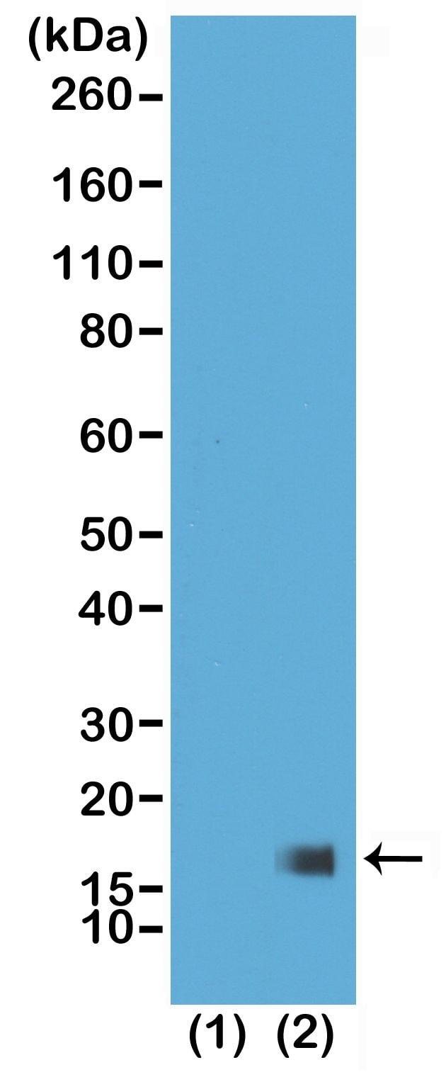 H3K27me3 Antibody in Western Blot (WB)
