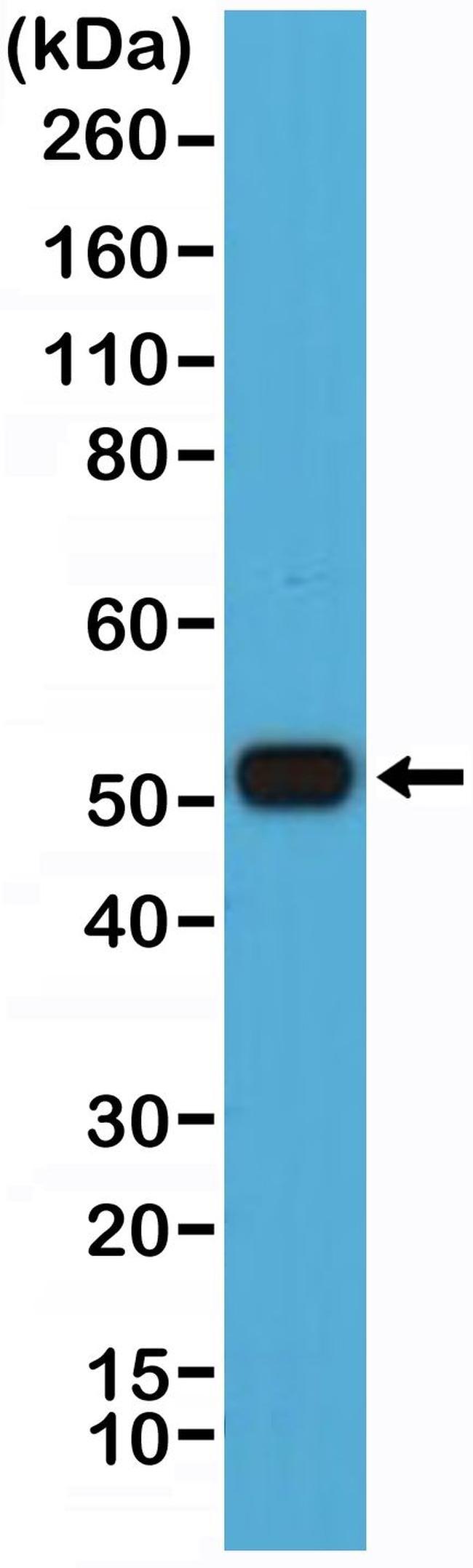 IRF4 Antibody in Western Blot (WB)