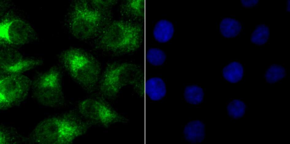 NR0B1 Antibody in Immunofluorescence (IF)