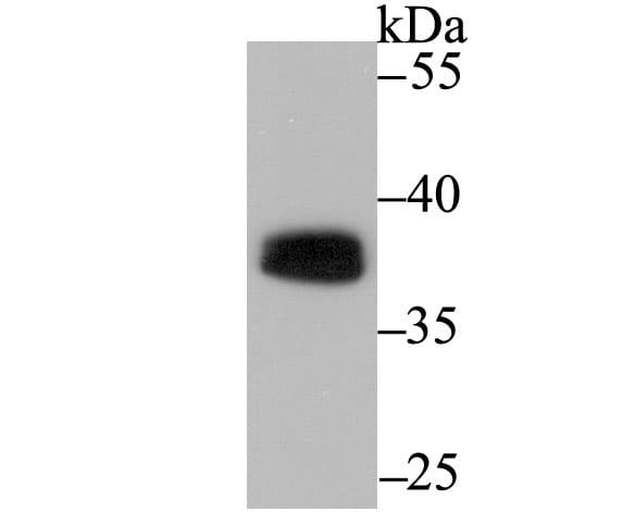 PU.1 Antibody in Western Blot (WB)