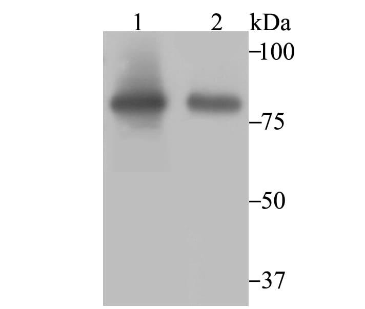 Aconitase 2 Antibody in Western Blot (WB)