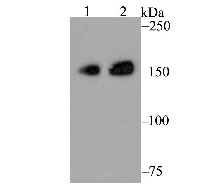 CLASP1 Antibody in Western Blot (WB)