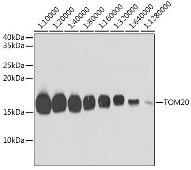 TOM20 Antibody in Western Blot (WB)