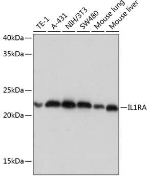 IL1RA Antibody in Western Blot (WB)