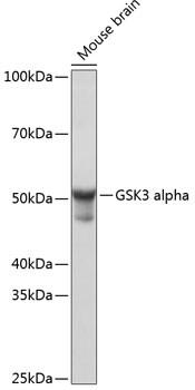 GSK3 alpha Antibody in Western Blot (WB)