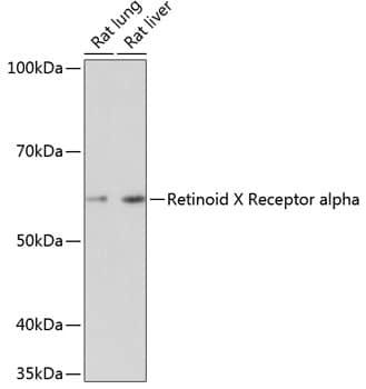 RXRA Antibody in Western Blot (WB)
