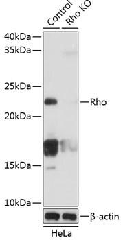 RhoA Antibody in Western Blot (WB)