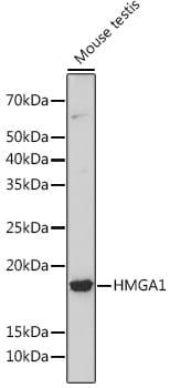 HMGA1 Antibody in Western Blot (WB)