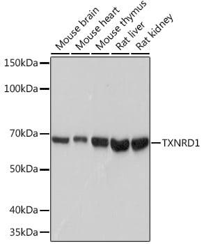 TrxR1 Antibody in Western Blot (WB)