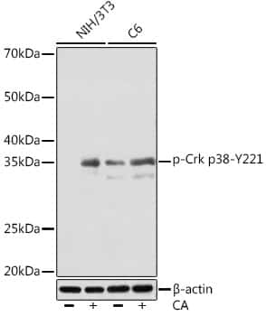 Phospho-Crk (Tyr221) Antibody in Western Blot (WB)