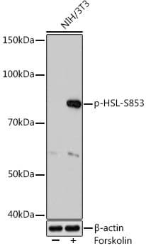 Phospho-HSL (Ser853) Antibody in Western Blot (WB)