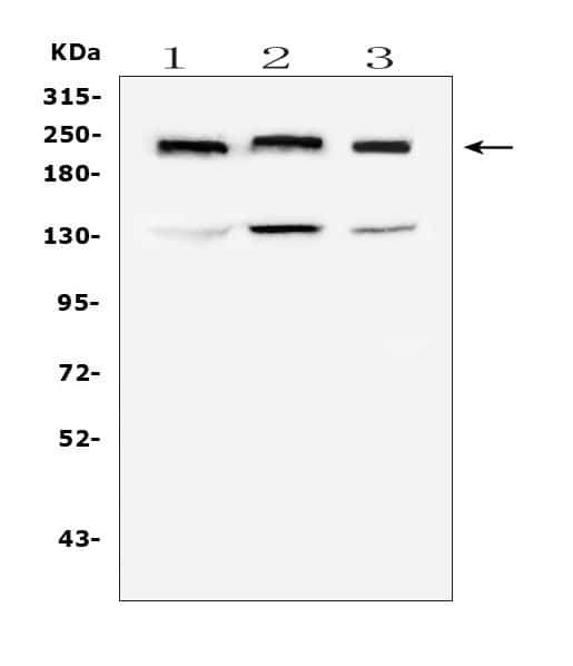 Collagen IV Antibody in Western Blot (WB)