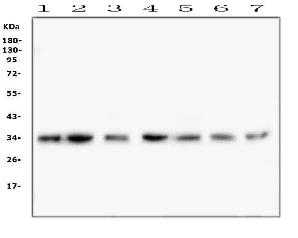 COPE Antibody in Western Blot (WB)
