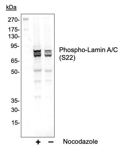 Phospho-Lamin A/C (Ser22) Antibody in Western Blot (WB)