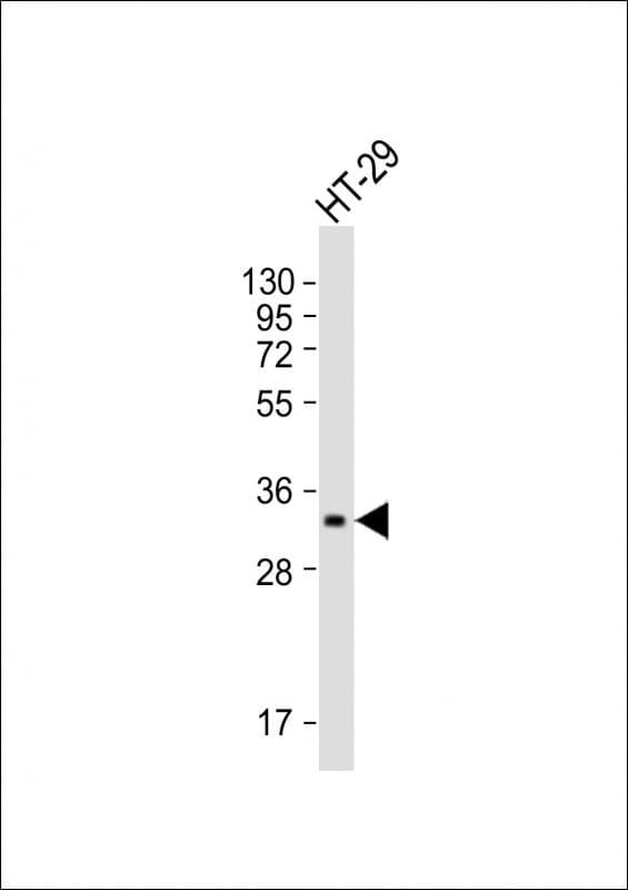 PENK Antibody in Western Blot (WB)
