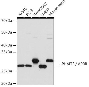 PHAPI2 Antibody in Western Blot (WB)