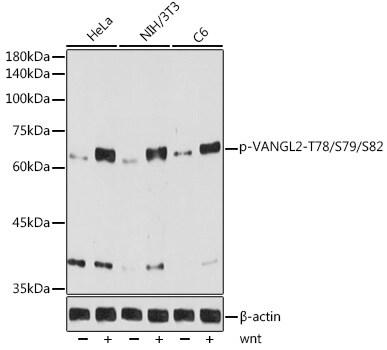 Phospho-VANGL2 (Thr78, Ser79, Ser82) Antibody in Western Blot (WB)