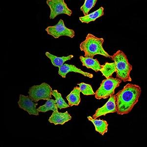 ARF1 Antibody in Immunocytochemistry (ICC/IF)