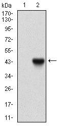 beta-2 Microglobulin Antibody in Western Blot (WB)