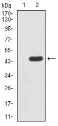 BMP-4 Antibody in Western Blot (WB)