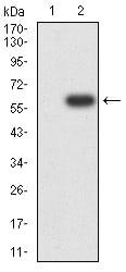 FCGRT Antibody in Western Blot (WB)