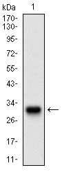 TWIST1 Antibody in Western Blot (WB)