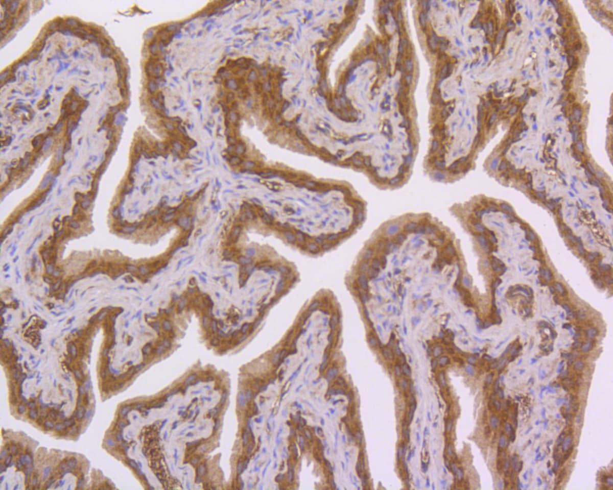 NFkB p50/p105 Antibody in Immunohistochemistry (Paraffin) (IHC (P))