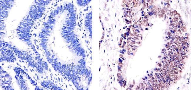 E2F4 Antibody in Immunohistochemistry (Paraffin) (IHC (P))