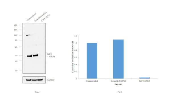 E2F4 Antibody in Western Blot (WB)