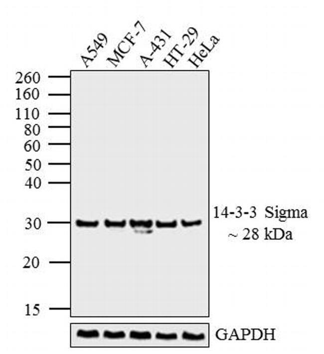 14-3-3 sigma Antibody in Western Blot (WB)