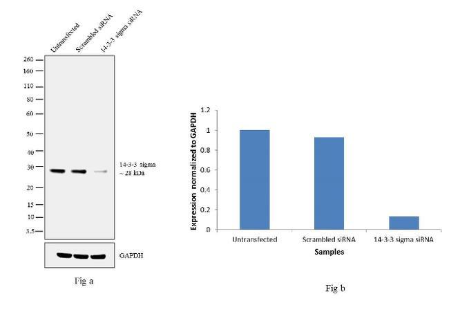 14-3-3 sigma Antibody in Knockdown