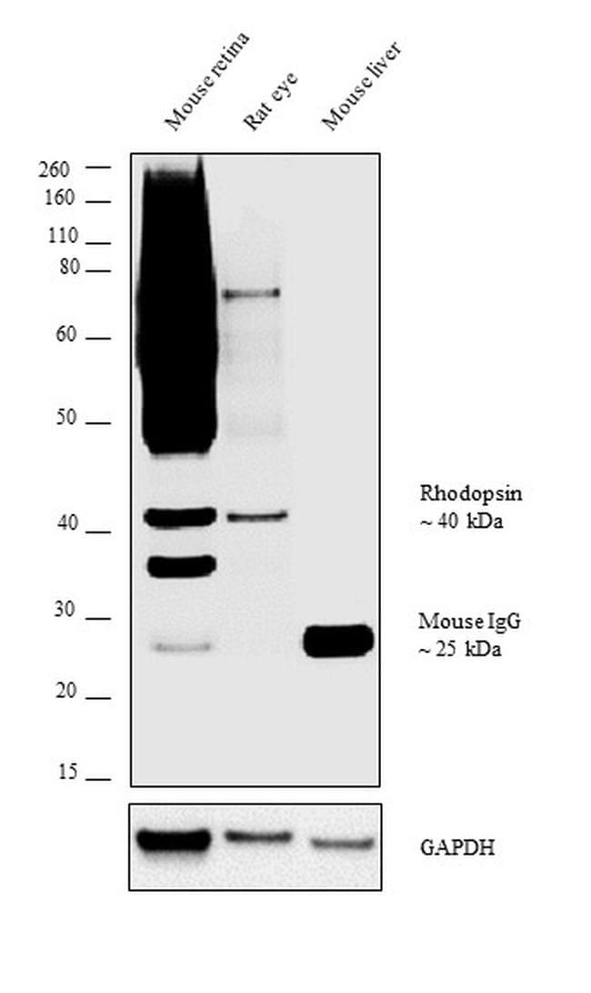 Rhodopsin Antibody in Relative expression