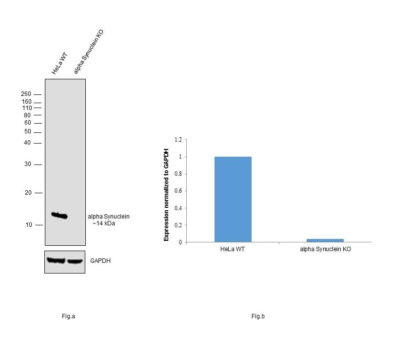 alpha Synuclein Antibody in Western Blot (WB)