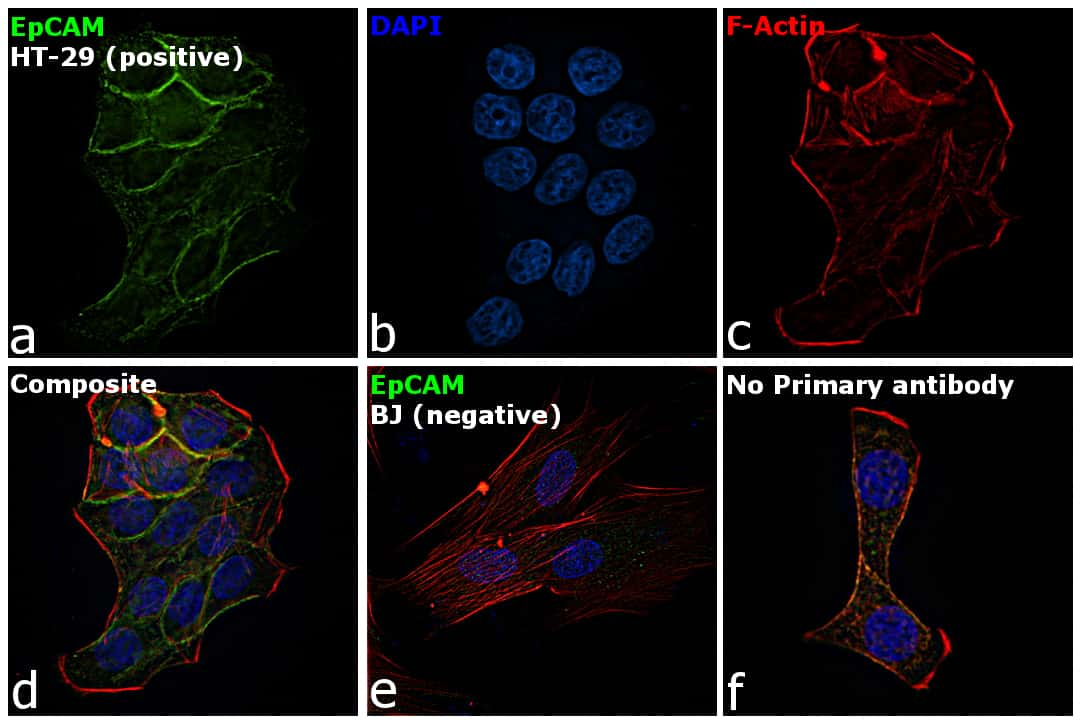 EpCAM Antibody in Immunofluorescence (IF)