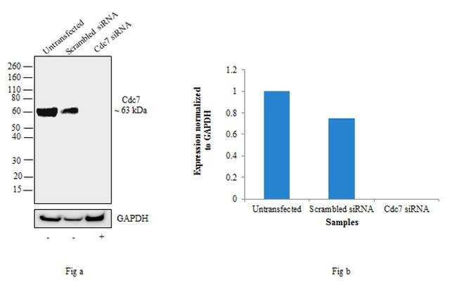 Cdc7 Antibody in Western Blot (WB)