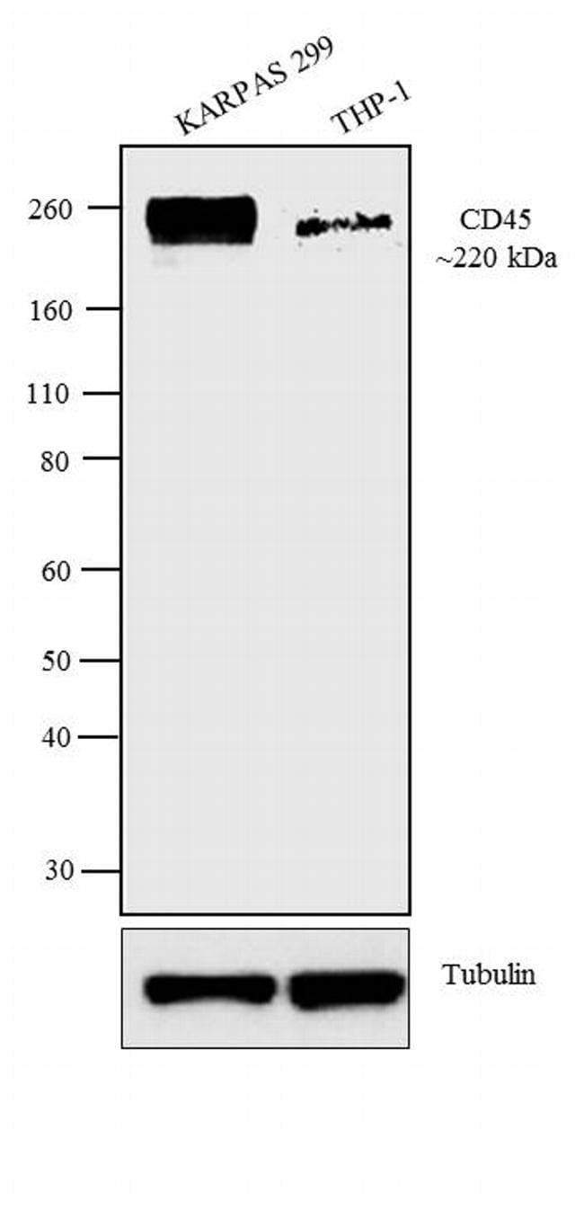 CD45 Antibody in Western Blot (WB)