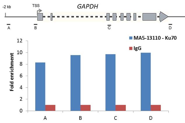 Ku70 Antibody in ChIP assay (ChIP)