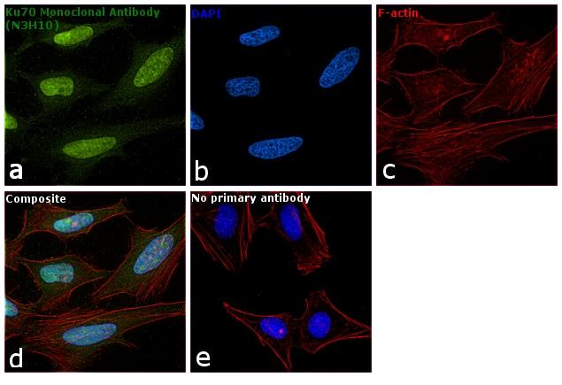 Ku70 Antibody in Immunofluorescence (IF)
